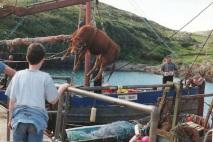 Chargement bétail à Inish Bofin
