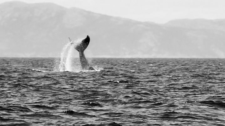 Placentia bay baleine (12)