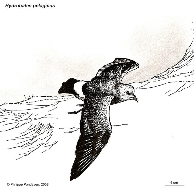 440_Hydrobates-pelagicus-PP